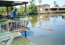 gatorland-orlando-alligators